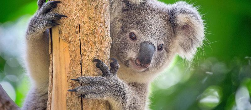 کوالای استرالیا